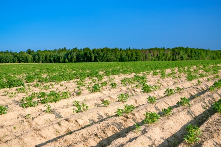 25266691 - beautiful rural landscape with a potato field